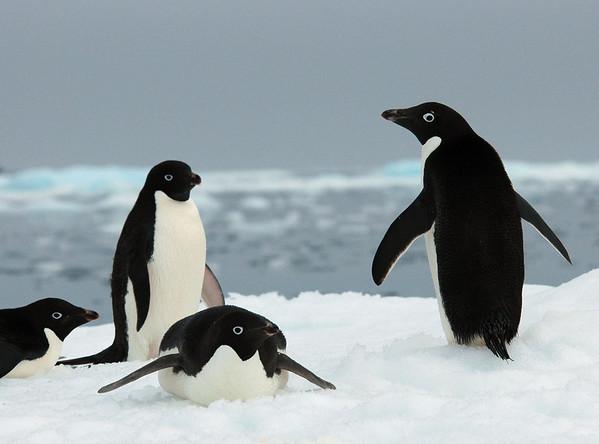 Antarctic-Adele Penguins