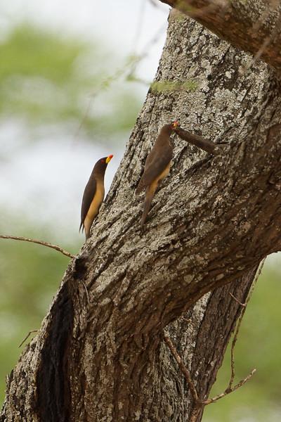 Yellow-billed Oxpecker - Tarangire National Park, Tanzania