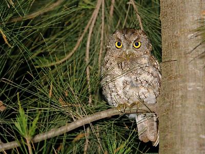 Whiskered Screech-Owl (Megascops trichopsis)