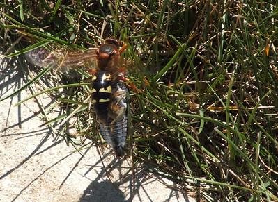Cicada Killers 2006