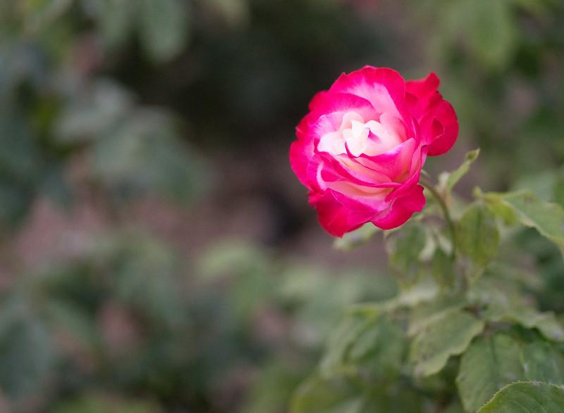 rose45.jpg