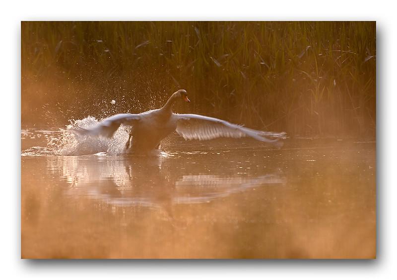 Swan takeoff 2-1.jpg
