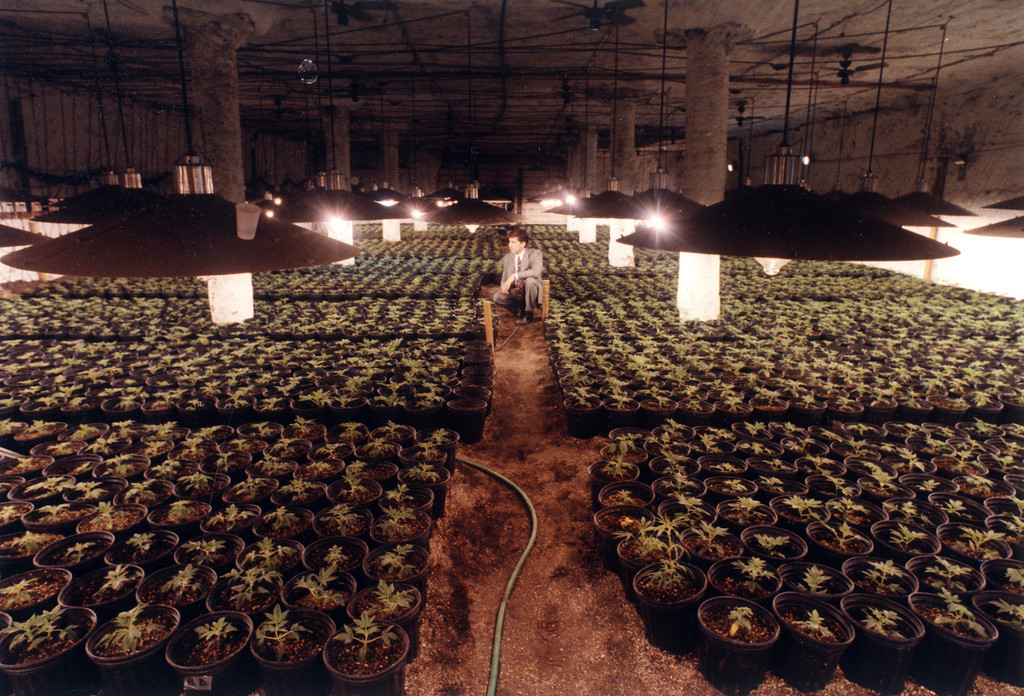 . Deputy Bill Wehner displays young marijuana seedling plants found in a 7,000-square-foot underground vault in Lancaster on November 16, 1990.  L.A. Daily News file photo