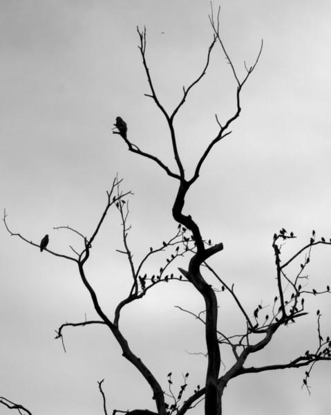 starlings hawks bw Nate.jpg