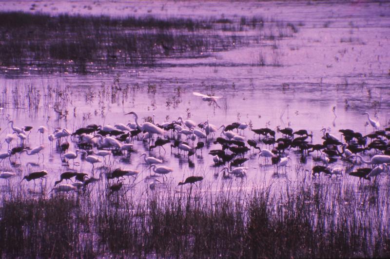 Chincoteague 1981-07 013.jpg