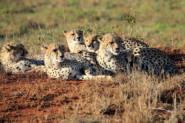 Phinda Cheetah Family South Africa 2016