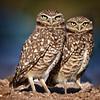 Burrowing Owl Buddies