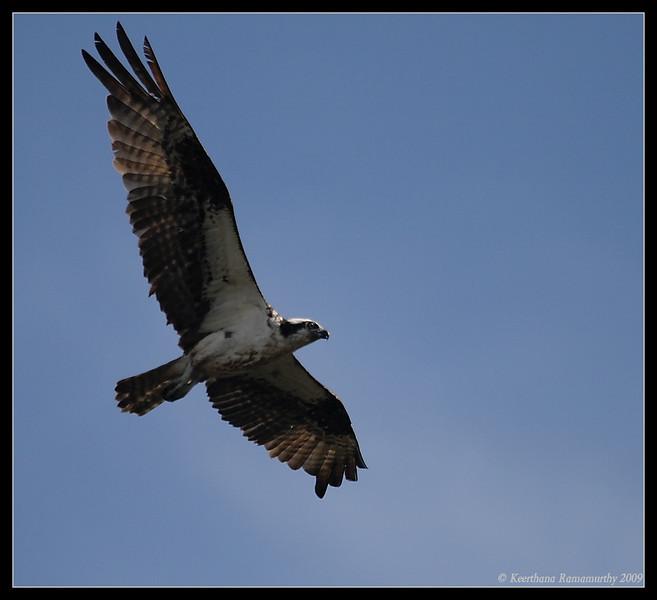 Osprey, Santee Lakes, San Diego County, California, October 2009