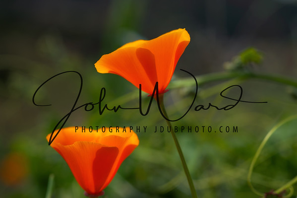 C016 California Poppies