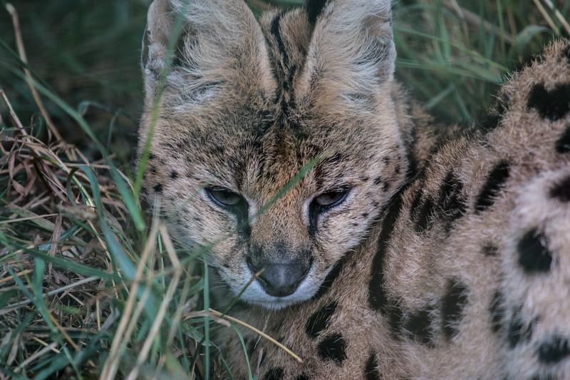 Serval (Samia)