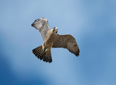 St. Ignatius Antioch Church Peregrine Falcons