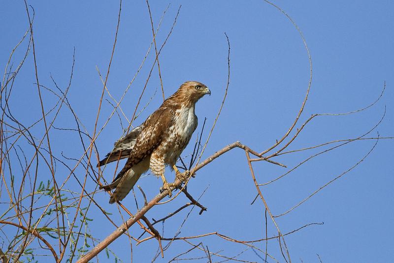 Swainson's Hawk, seen in the Denver/Boulder area