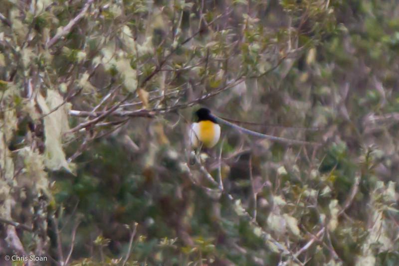 King-of-Saxony Bird-of-Paradise adult male at Tonga Trail, Enga Province, Papua New Guinea (10-02-2013) 1519.jpg