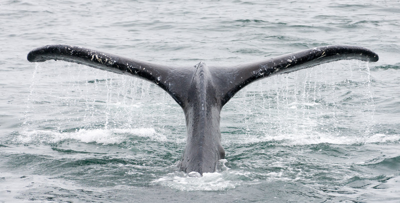 Close-up of whale swimming in sea - USA - Alaska
