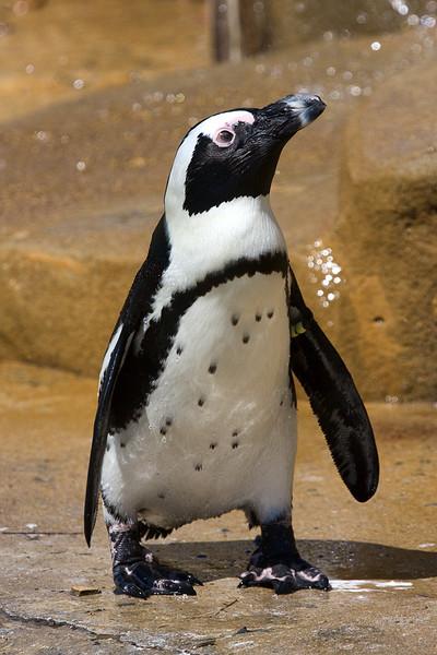 african-penguin_4982665839_o.jpg