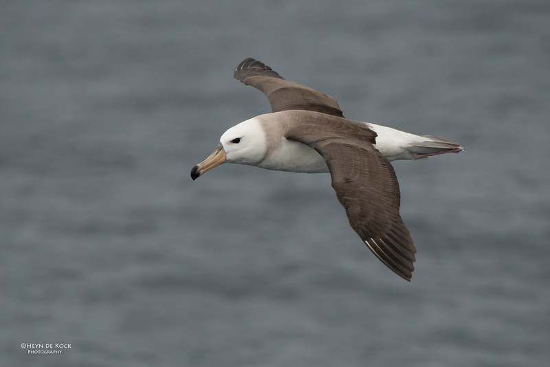 Black-browed Albatross, juv, Wollongong Pelagic, NSW, Aus, Aug 2014-2.jpg
