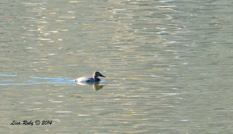 Distant shot of a Female Canvasback - 1/2/2015 - Lake Hodges, southeast trail (south of footbridge)