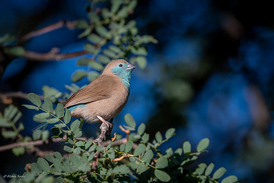 Cordon-bleu, Blue-breasted