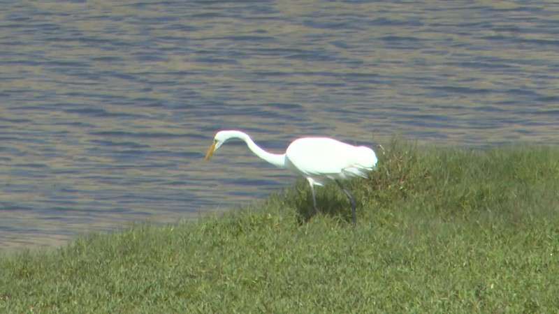 Great Egret on the Sweetwater River 10282018.mp4