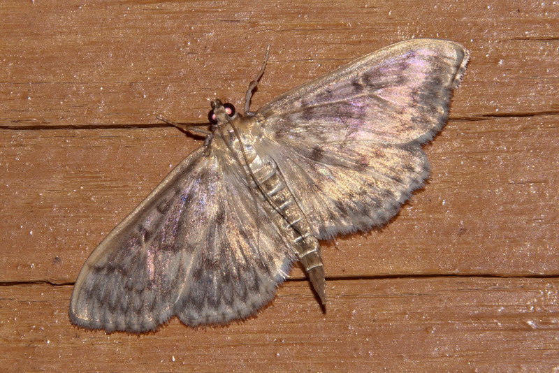 Grass Moth - Bold-feathered - (Herpetogramma pertextalis) - Dunning Lake - Itasca County, MN