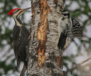 Meeting of the Woodpeckers