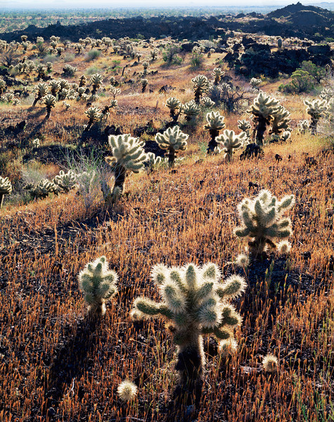 Biosphere Reserve of the, MEX/Pinacate & Gran Desierto Altar, Mexico Teddy bear cholla (Opuntia bigelovii) in jagged volcanic lava flow, covered with grass after rain.395V5