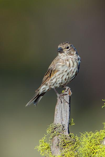 Cassin's Finch (Carpodacus cassinii)