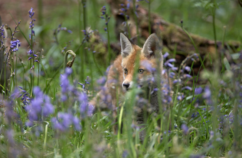 238 Fox Cub - 0458.jpg
