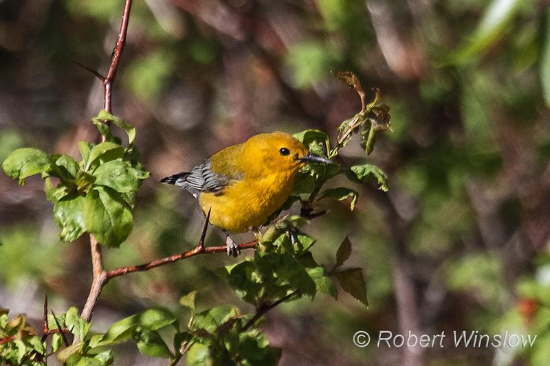 Prothonotary Warbler, Protonotaria citrea, La Plata County, Colorado
