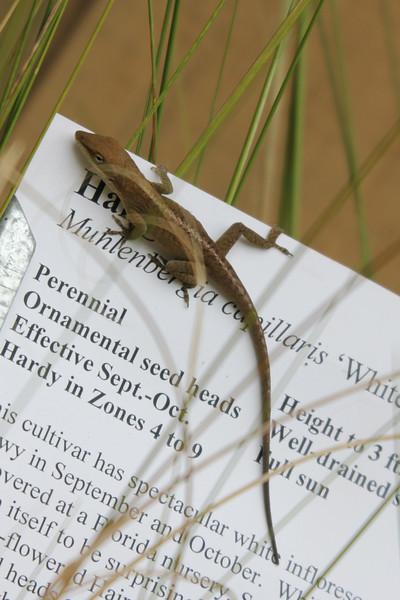 lizard at NC Botanical Gardens