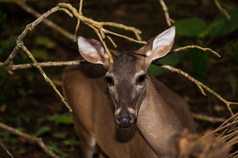 WHITE-TAILED DEER-EDITED 2.jpg