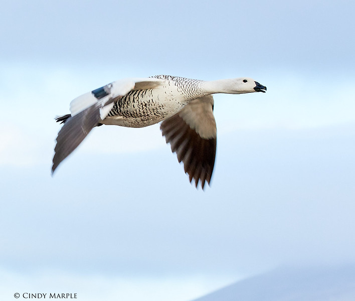 Upland Goose male