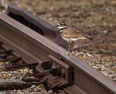 Another Killdeer (or possibly the same one, but not likely)