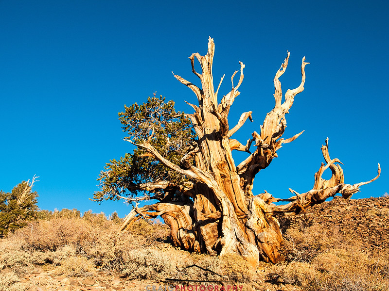 Bristlecone Pine forest California 2