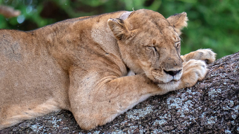 Tanzania-Tarangire-National-Park-Safari-Lion-10.jpg