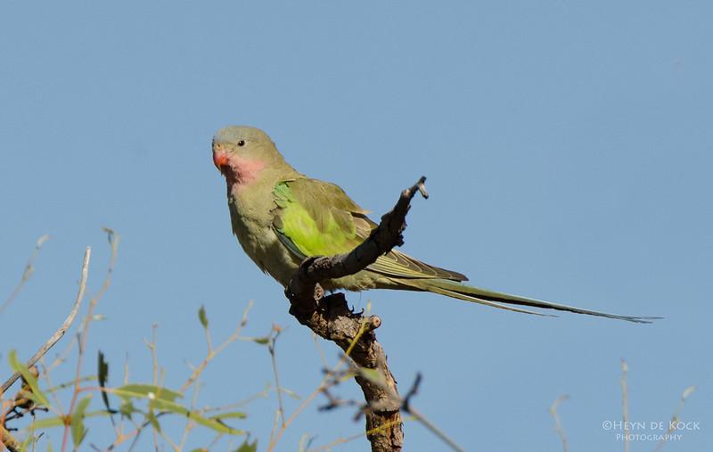 Princess Parrot, Newhaven Station, NT, Aus, Jun 2012-1.jpg