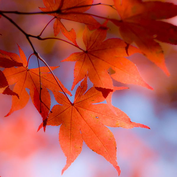 """""""Maple Charm"""" by A.E. Amador"""