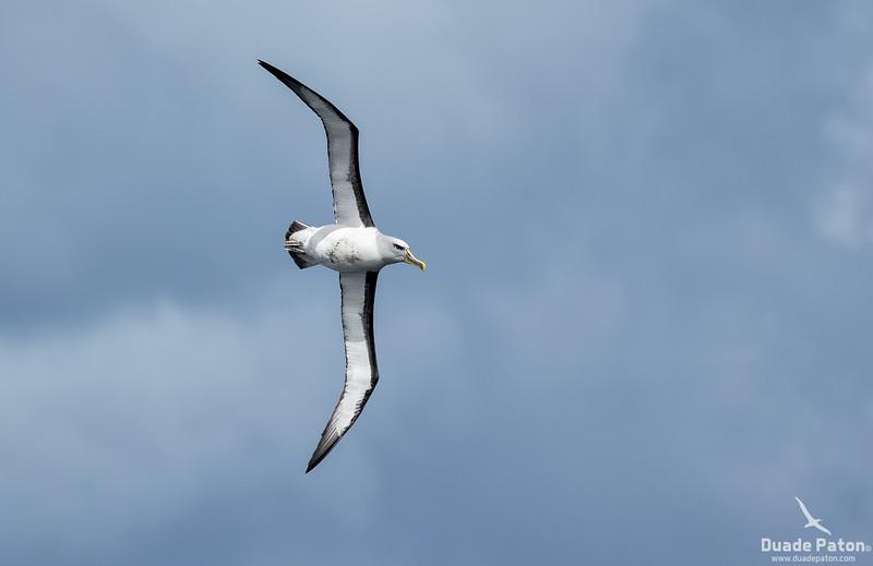 931-Buller's-Albatross-SnaresIsland-131213-3.jpg