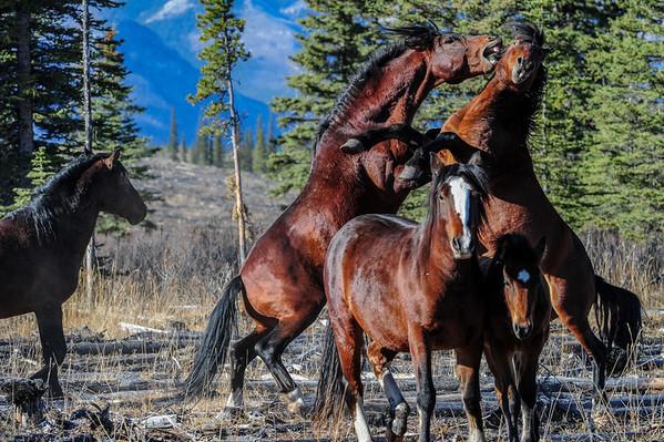 10 2013 Oct 21 Alberta Wild Horses