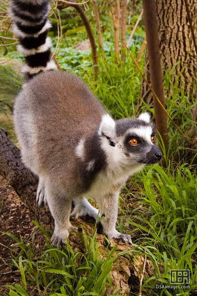Lemur up close
