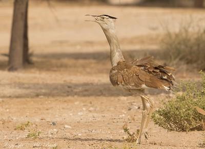 Arabian Bustard