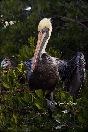 Pelicans / Anna Marie FL