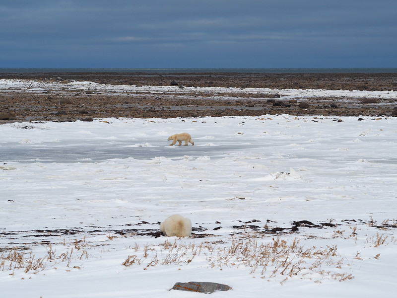 Polar bears waiting for Hudson Bay to freeze