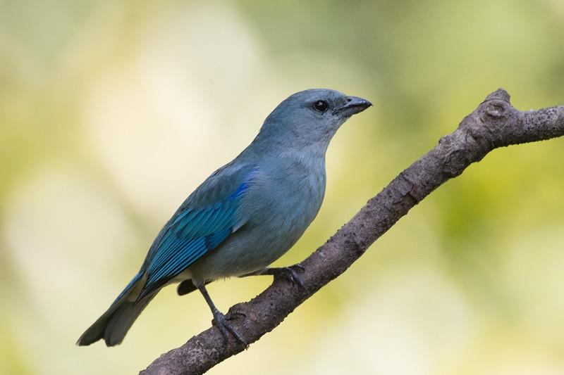19-Sept Brazil Birds-6654.JPG