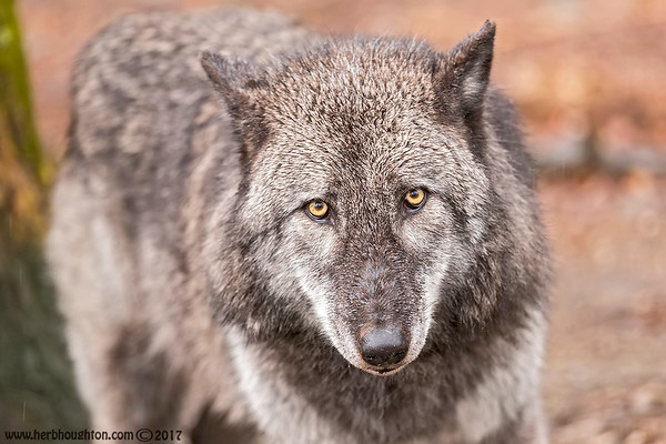 Wolves (captive)