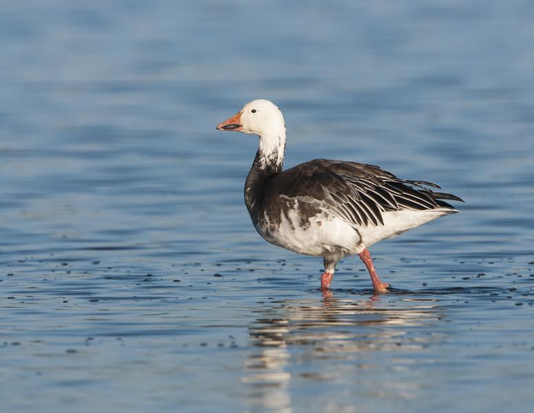 Snow Goose - Dark Phase
