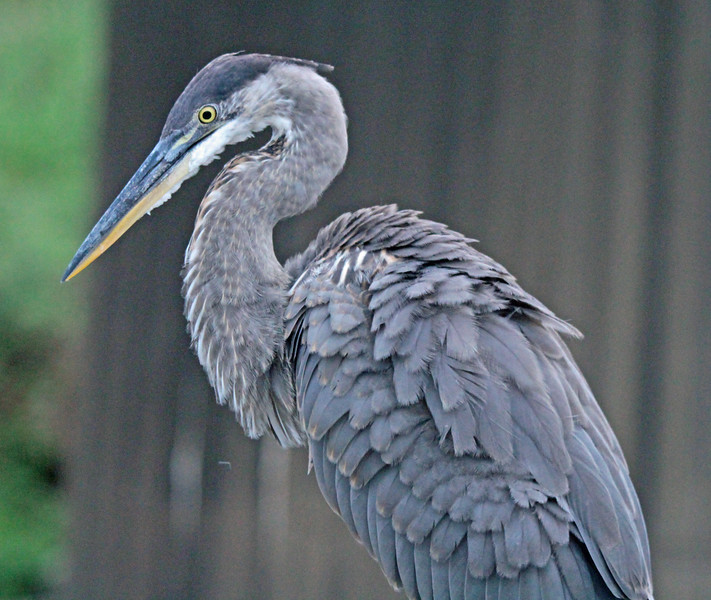 Great blue heron with ruffled feathers