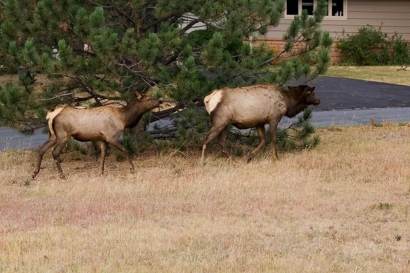 Elk Females 1.jpg