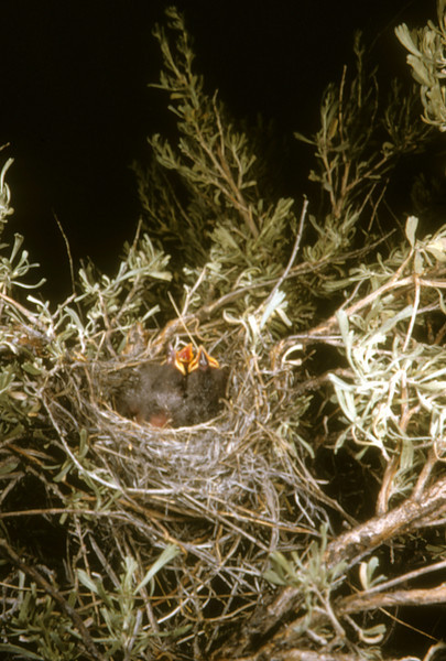 Brewer's Sparrow (Sialia currucoides), Near Lookout Pass, Stansbury Mountains, Tooele Co., Utah, 1954