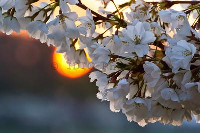 Cherry Blossoms 2011 Washington D.C.